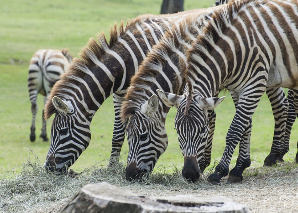safari-park-pombia-Zebre-min